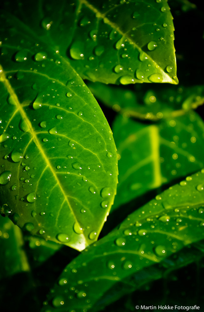 Photograph Raindrops on leafs by Martin Hokke on 500px