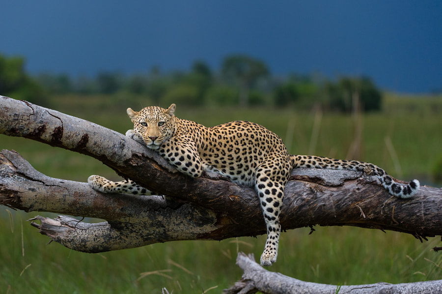Lazing leopard by Richard de Gouveia on 500px.com