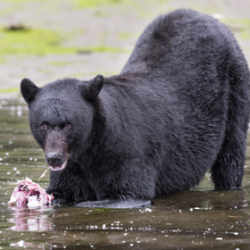 Black Bear at Lunch by Mike Johnson (mikeojohnson)) on 500px.com