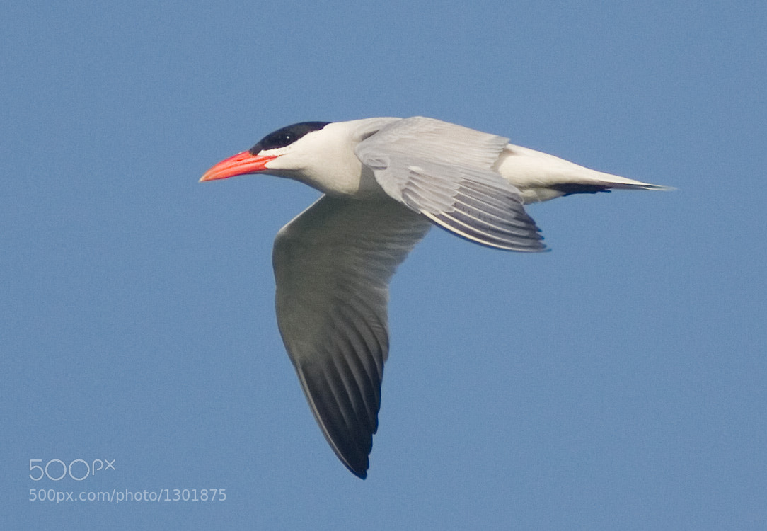 Photograph Caspian Tern by Phil Armishaw on 500px