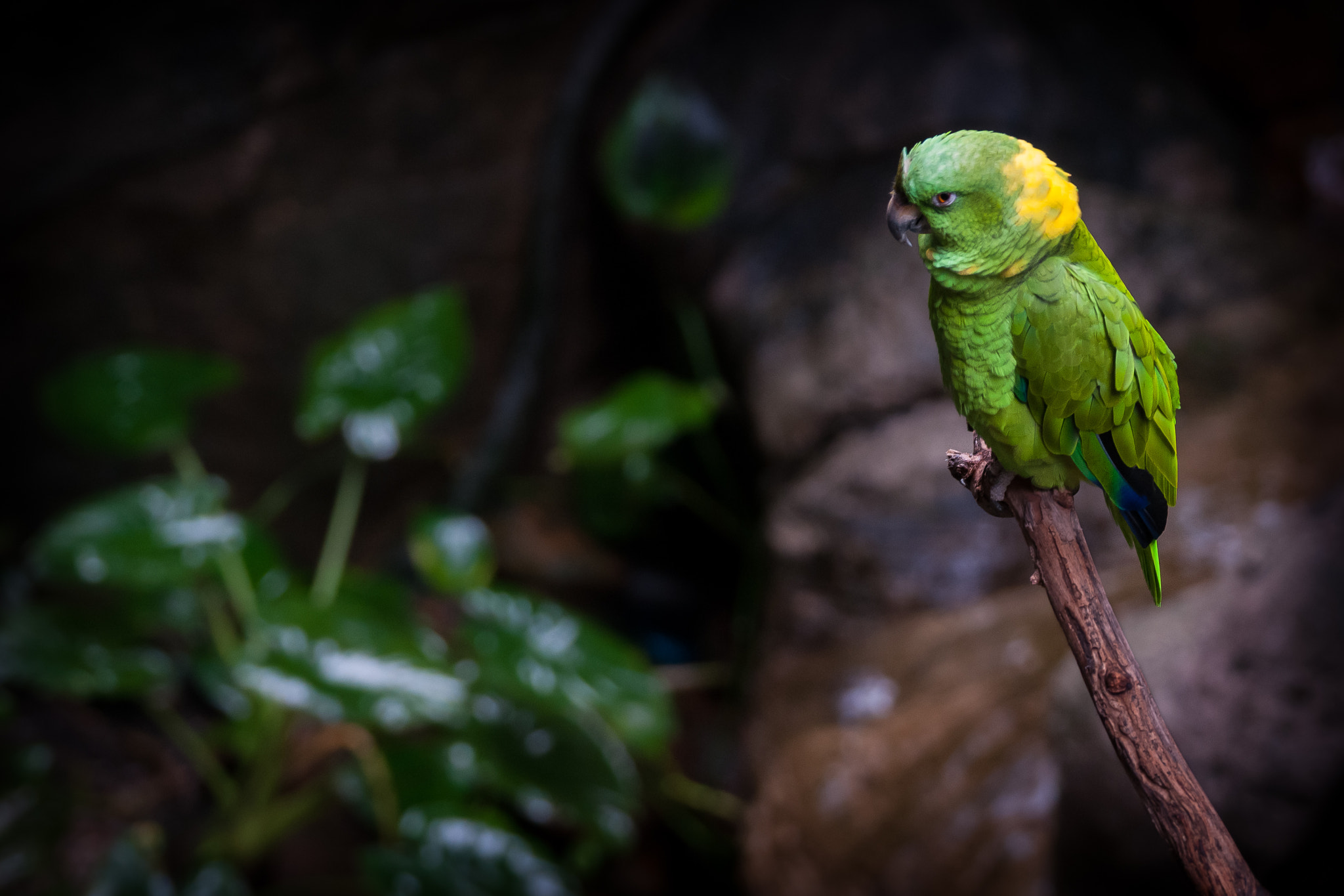 Photograph Yellow naped macaw by David Cornejo on 500px
