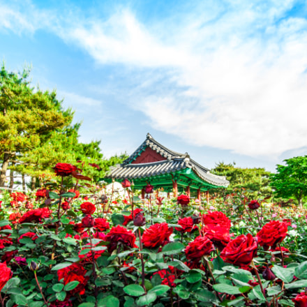 Gardens of the Rose 薔薇花園, Sony DSLR-A900, Sigma AF 12-24mm F4.5-5.6 EX DG