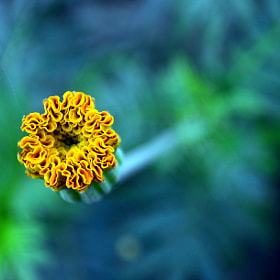 Marygold with Yellow-green petals by Manoj Pandey (Nikon)