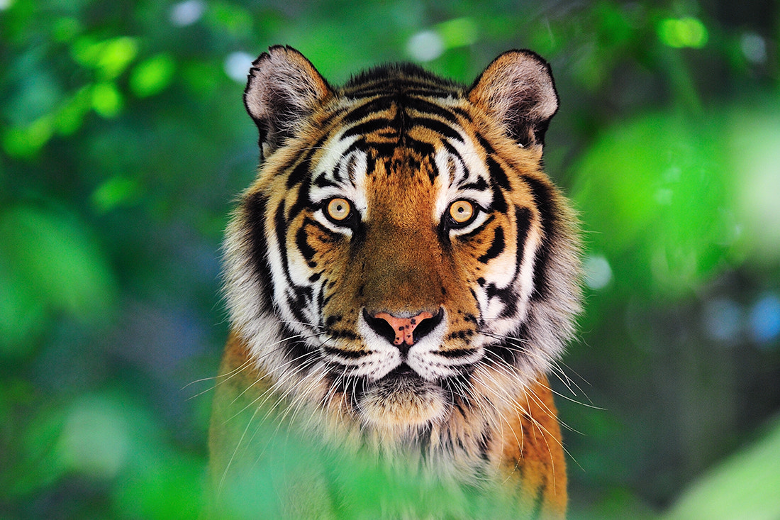 Photograph Panthera tigris altaica by Bostjan P. on 500px