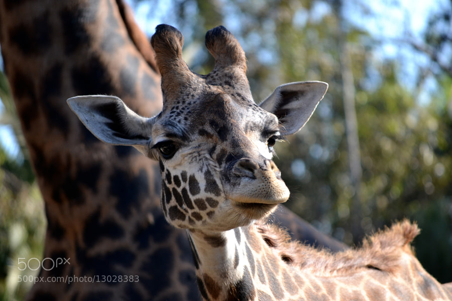 Photograph The Baby Giraffe by Erwan Alliaume on 500px