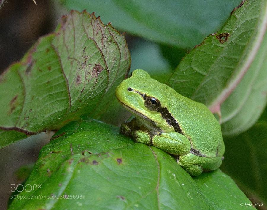 Photograph little tree frog 2 by Jaap van der Kooij on 500px