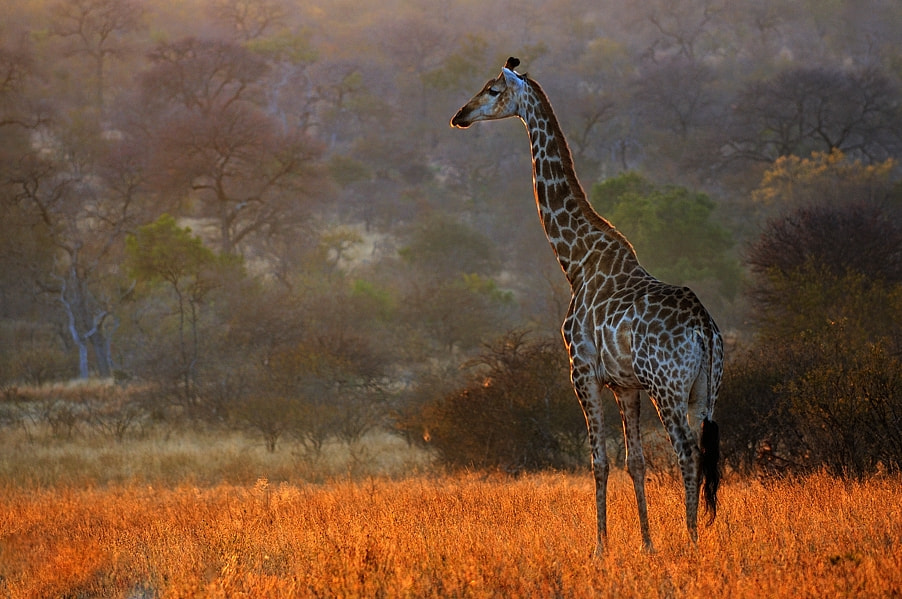 Photograph Giraffe in the morning light by Bostjan P. on 500px