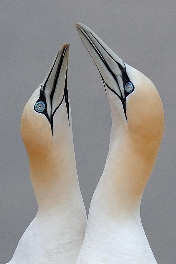 Photograph Northern gannets by Bostjan P. on 500px