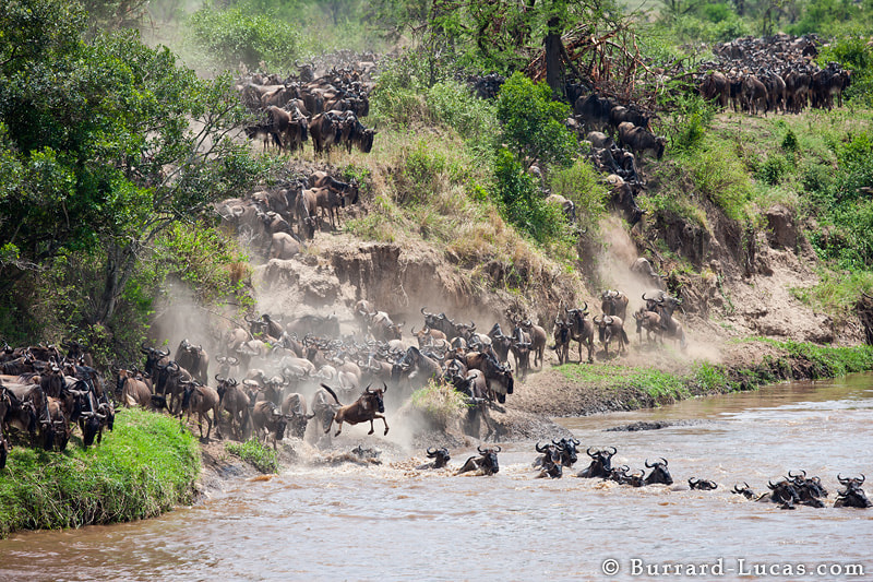Wildebeest pouring down a cliff and leaping into the Mara River during their annual migration.