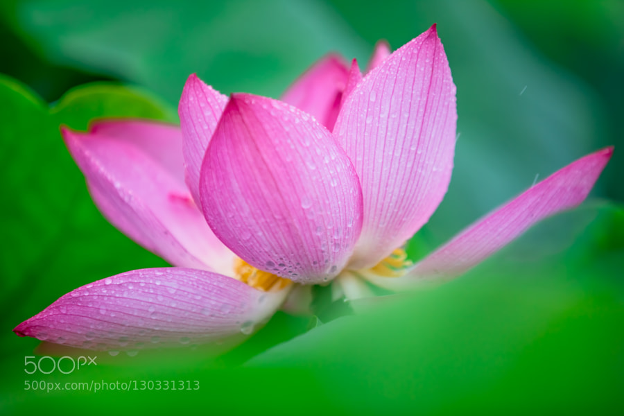 Macro photography a lotus flower in the early morning 2 by junho i visited gwangokji cherished a history of over 500 years on a rainy sunday last summer gwangokji is located in siheung gyeonggi do korea mightylinksfo