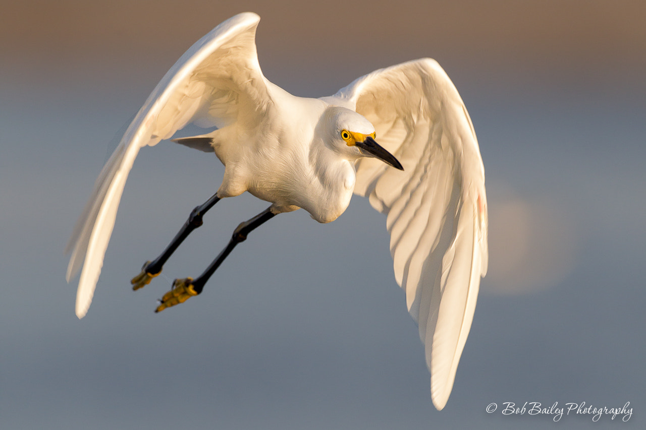 Photograph Snowy Egret Takes Flight by Bob Bailey on 500px