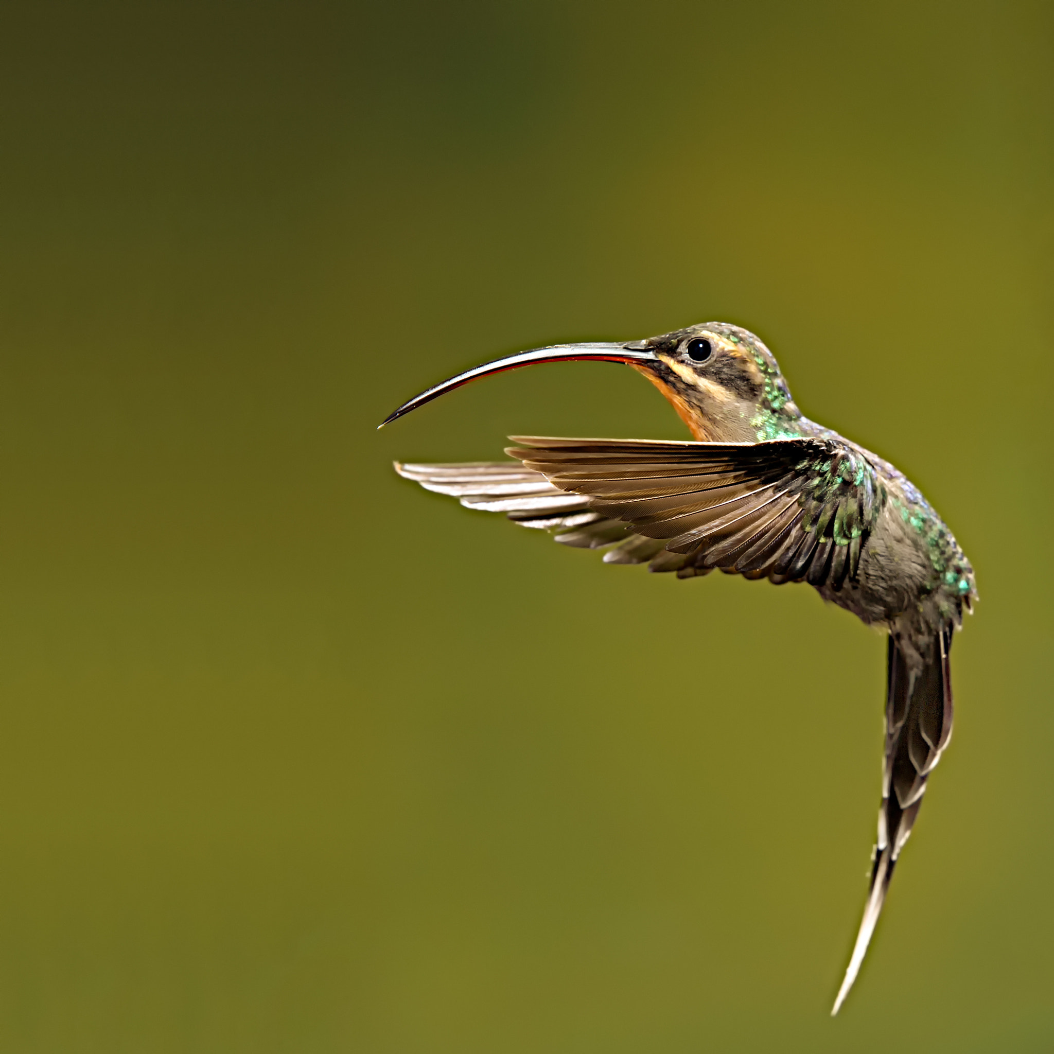 Photograph Male Green Hermit Hummingbird by Hali Sowle on 500px