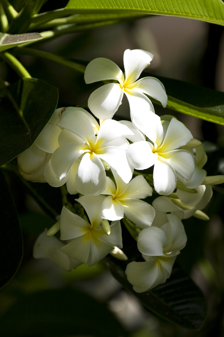 Photograph Plumeria by Melissa Forsberg on 500px