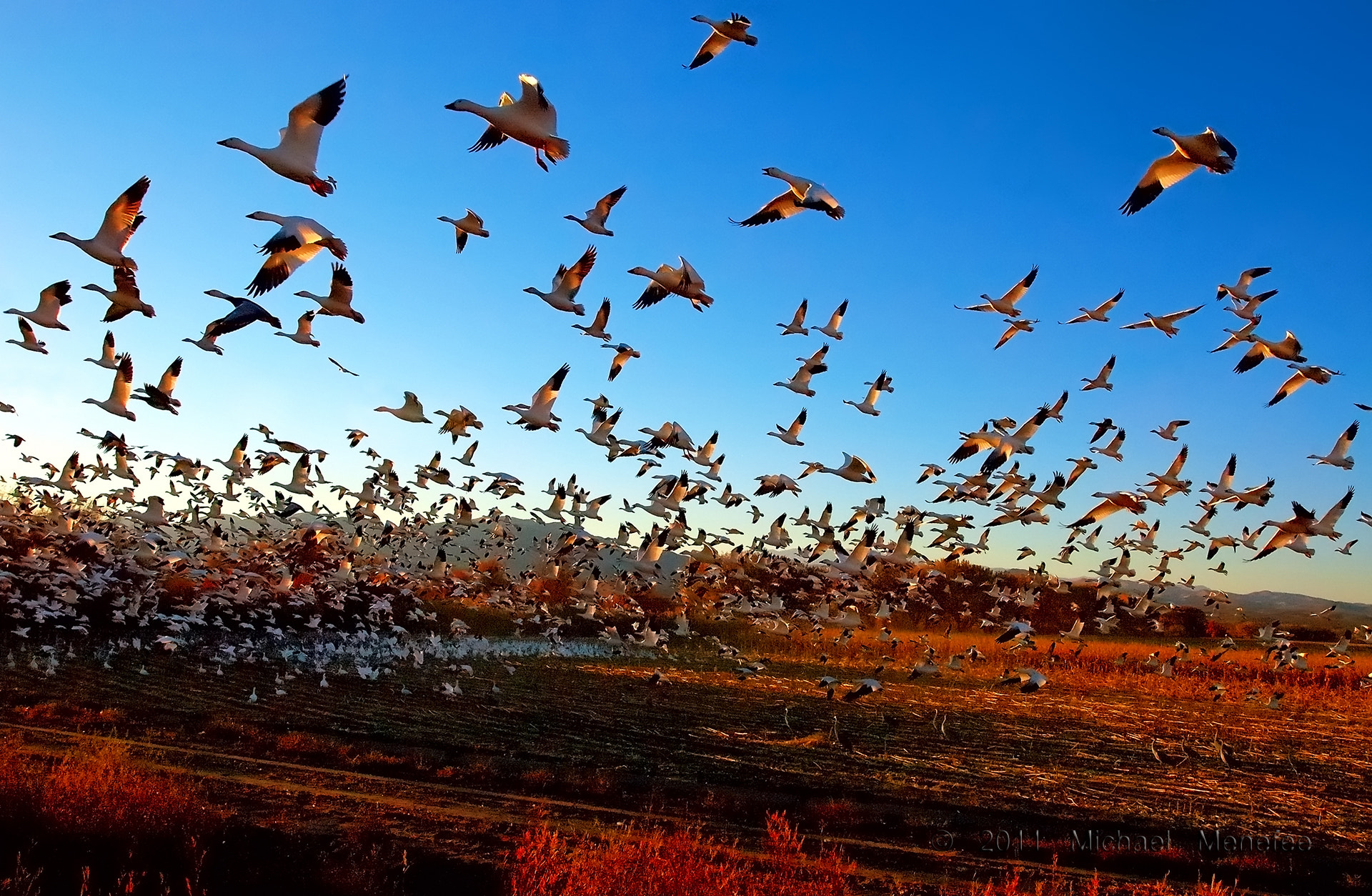 Photograph Fright Flight of the Snow Geese by Michael Menefee on 500px