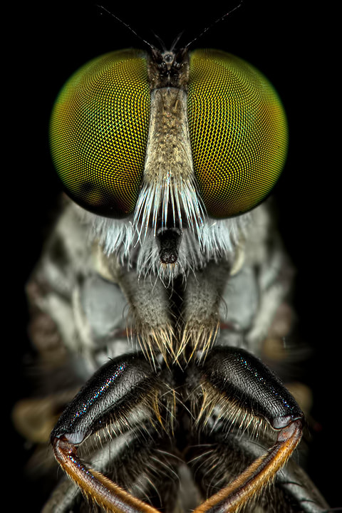 Photograph F2F Robberfly by Anggara Fauzan on 500px