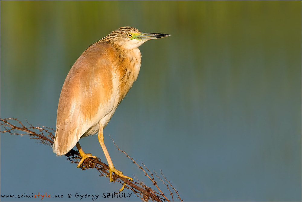 Photograph Squacco Heron (Ardeola ralloides) by Gyorgy Szimuly on 500px
