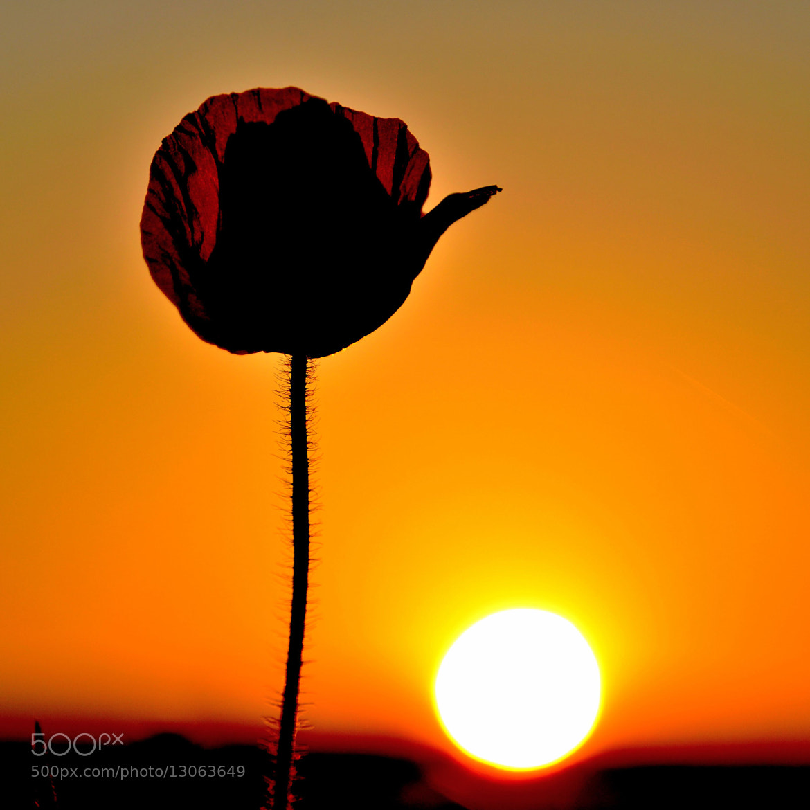 Photograph poppie by Stefano Rubino on 500px