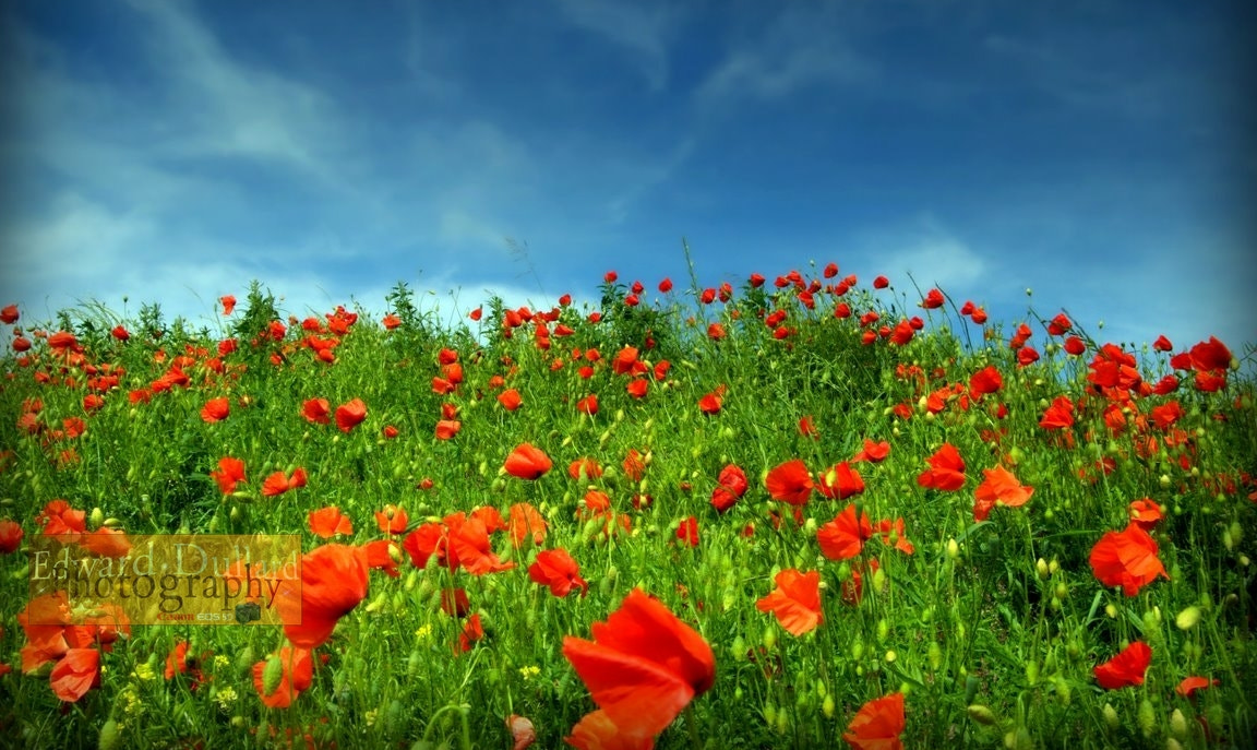 Photograph A field of poppies. by Edward Dullard on 500px