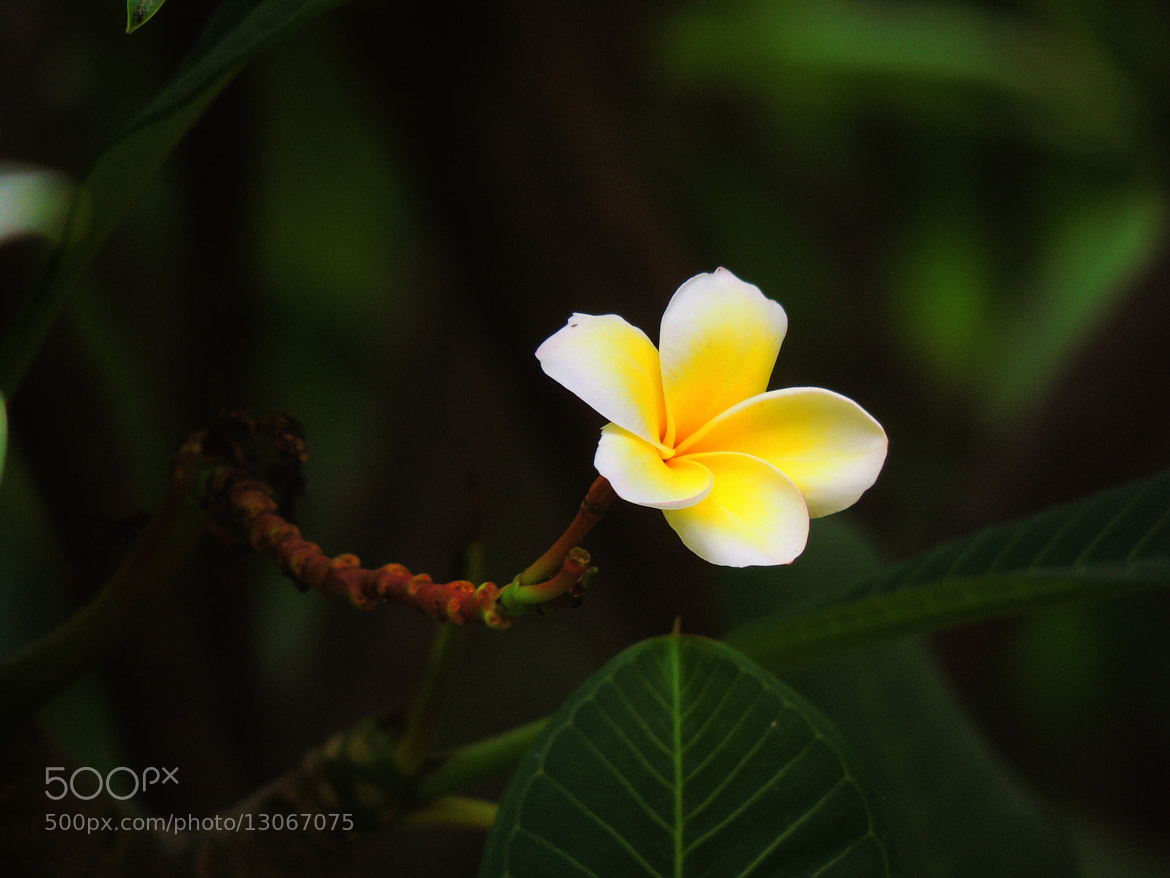 Photograph Plumeria: The Flower Propeller by Ravi S R on 500px