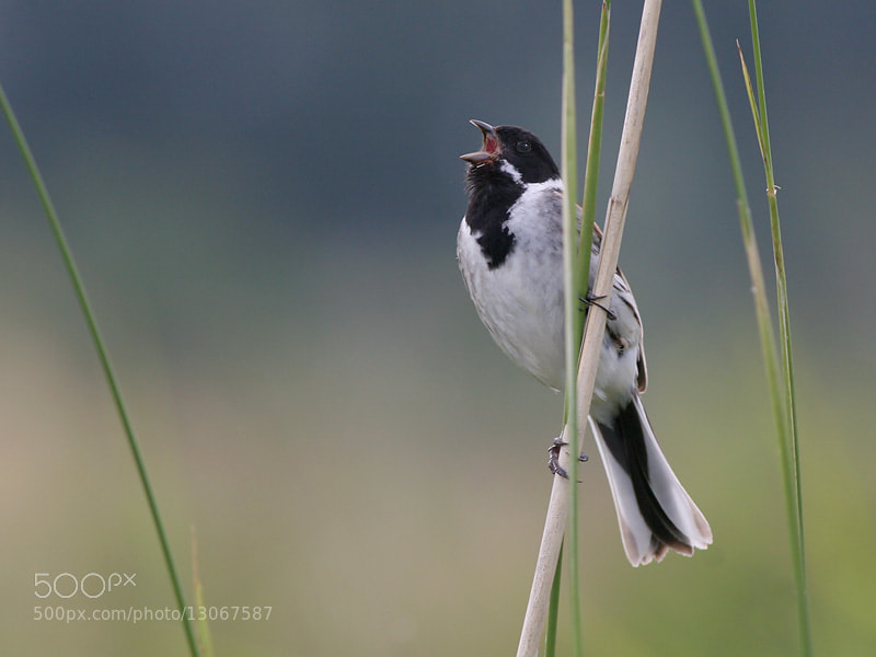 Photograph Singing Reed Bunting by Aat Bender on 500px