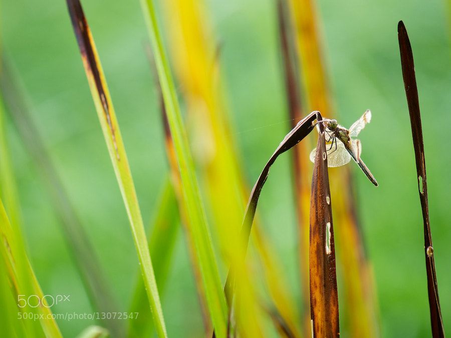 Photograph Banded Darter in the reed by Erik Veldkamp on 500px