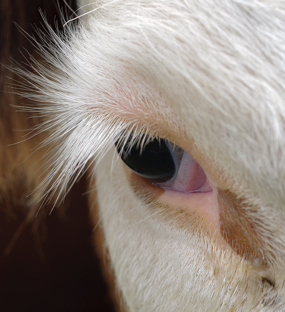 Photograph Beauty in the eye of a cow by Alessandro Zocchi on 500px