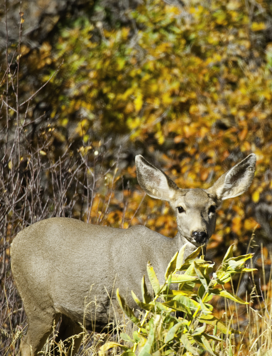 Photograph mule deer by Michael Leggero on 500px