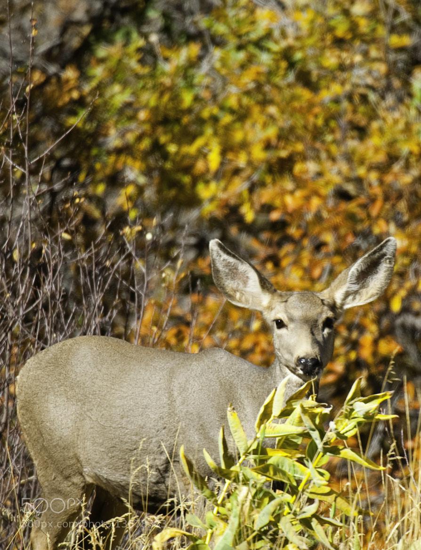 Photograph mule deer by Michael Leggero on 500px