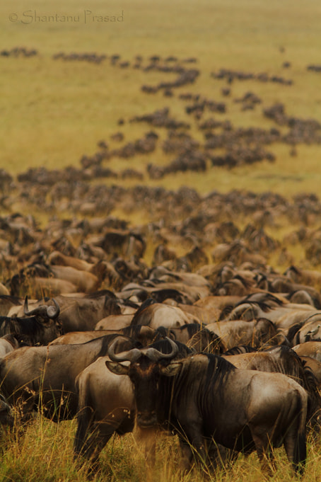 Photograph The Great Migration... by Shantanu Prasad on 500px