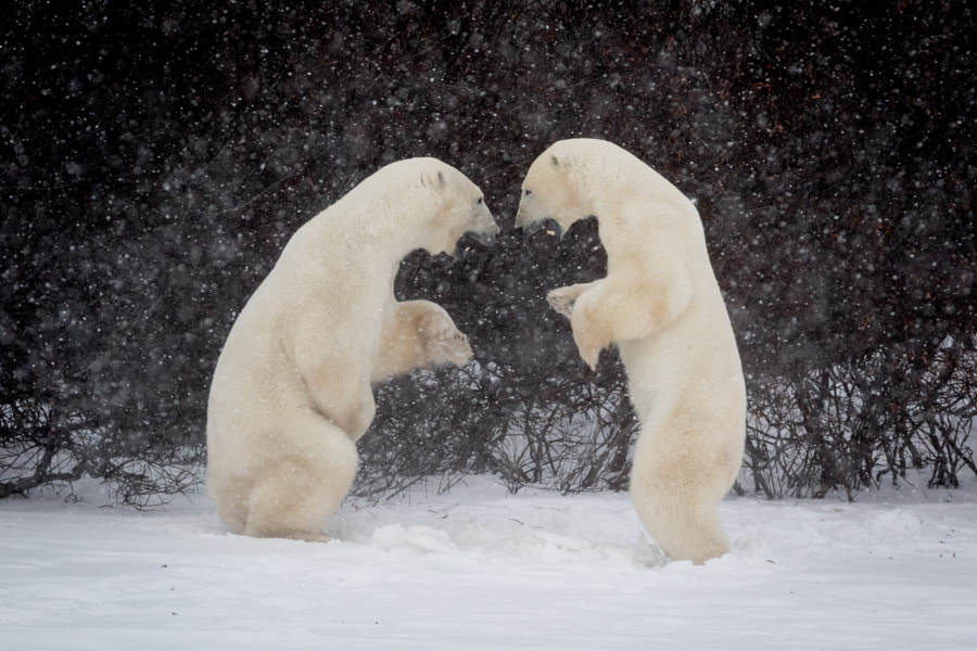 Wrestling Polar Bears