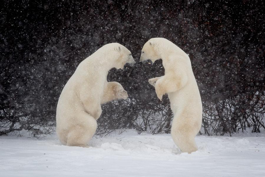 Wrestling Polar Bears