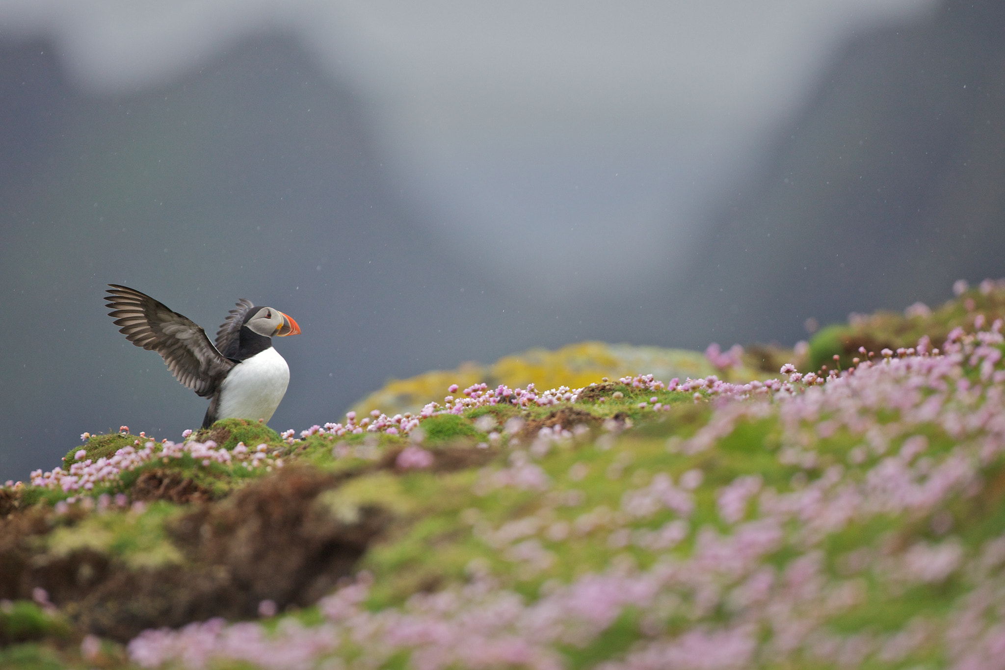 Photograph Puffin in the rain by Nicola Di Sario on 500px