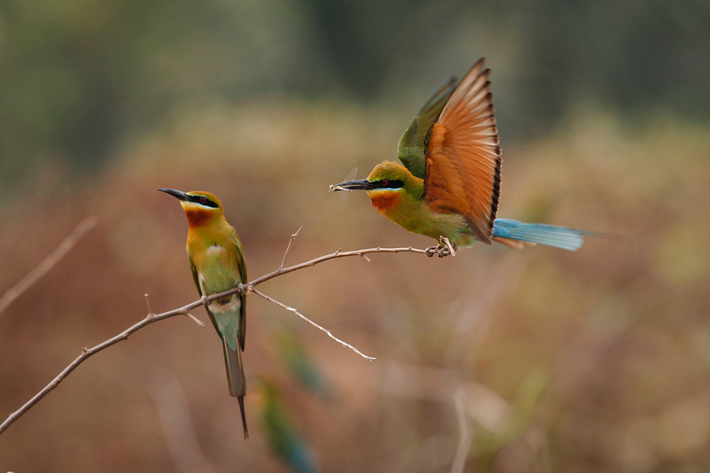 Photograph bee-eater by Jungle Man on 500px