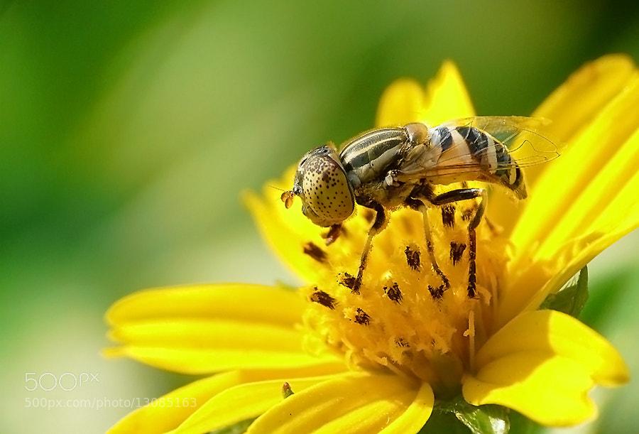 Photograph -- Flower Fly & Flower -- by Santi Senarat on 500px