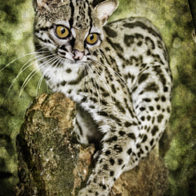 Margay by Tony Rath (tonyrath)) on 500px.com
