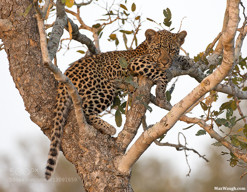 Photograph Cub of the Kikilezi Female by Max Waugh on 500px