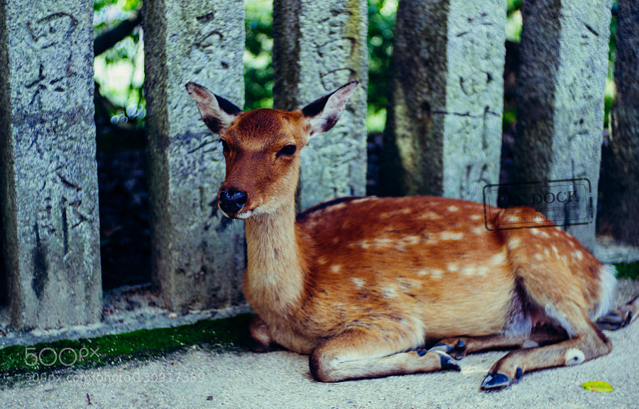Deer. Miyajima, Japan