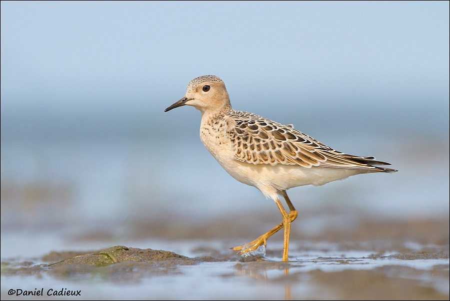 Photograph Buff-breasted Sandpiper. by Daniel Cadieux on 500px