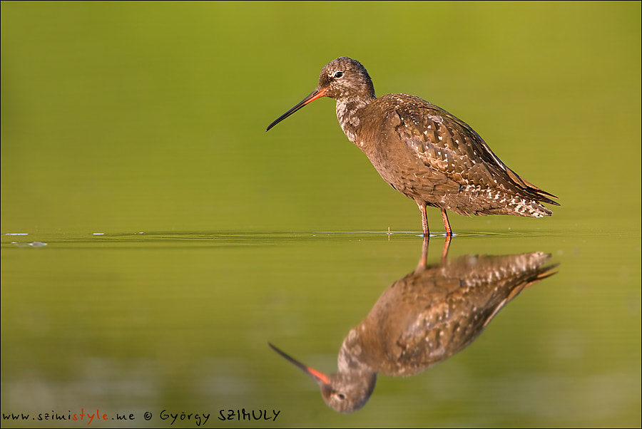 Spotted Redshank (Tringa erythropus) by Gyorgy Szimuly on 500px.com