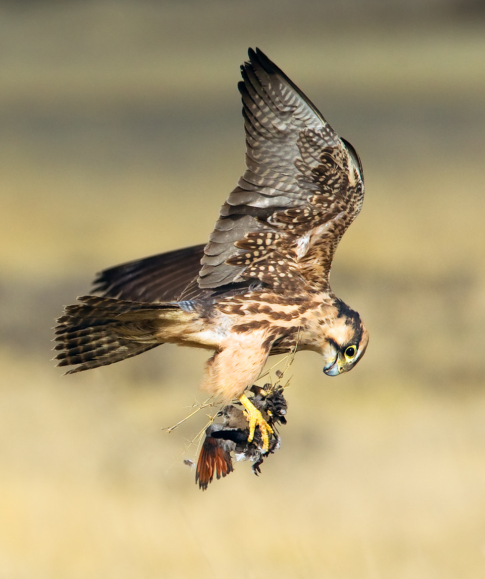 Photograph Lanner falcon hit by Frits Hoogendijk on 500px