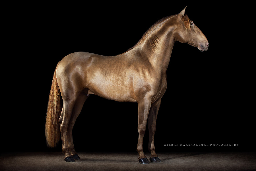 horse photography - Gold Fever by Wiebke Haas on 500px.com
