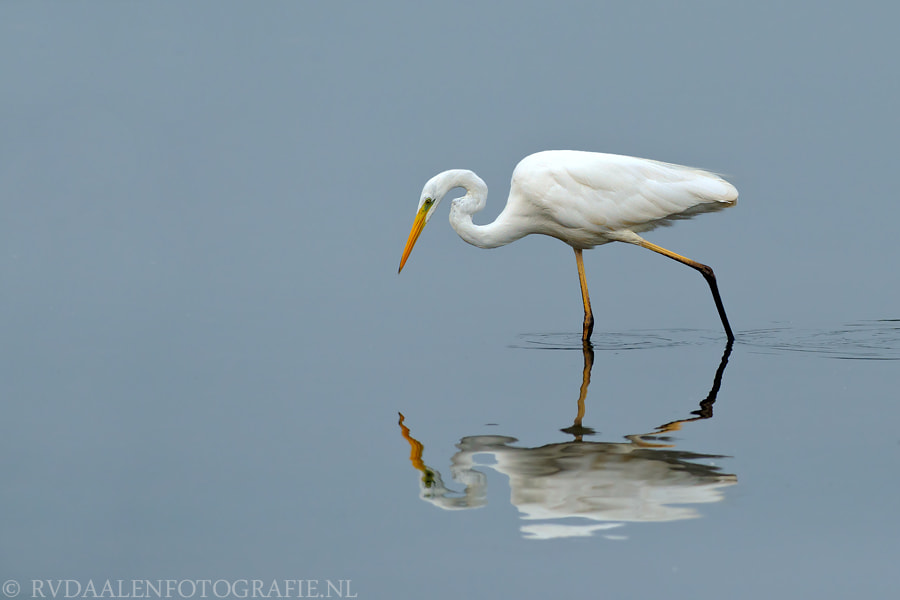 Photograph Great White Heron (Egretta alba) by Remco van Daalen on 500px