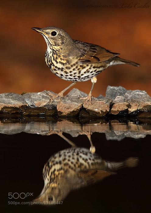Photograph Song Thrush by Csaba Loki on 500px