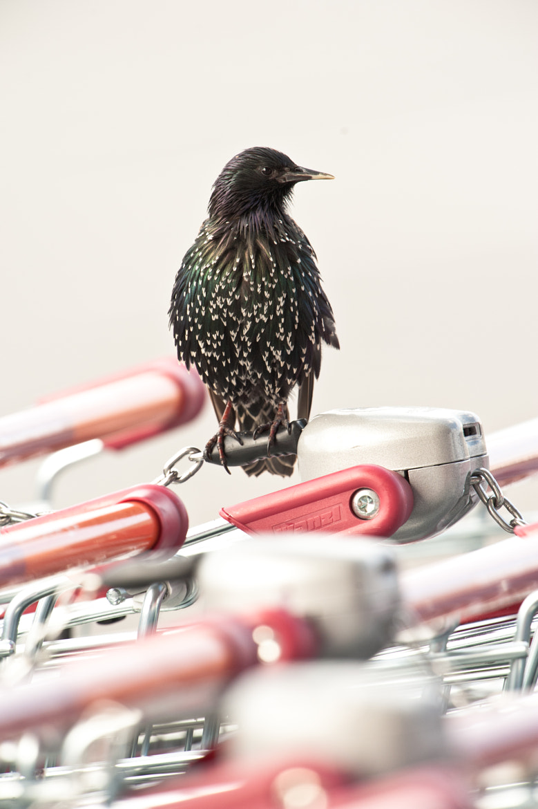 Photograph Supermarket starling 1 by Philip Braude on 500px