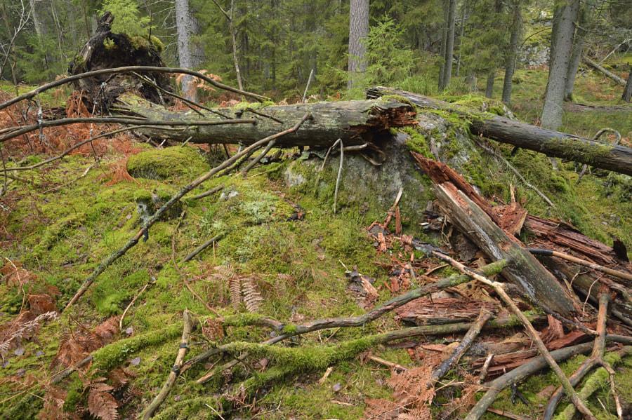 Natural sighting / Tyresta NP (Sweden)