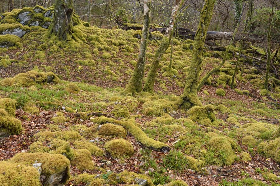 Killarney forest / Ireland