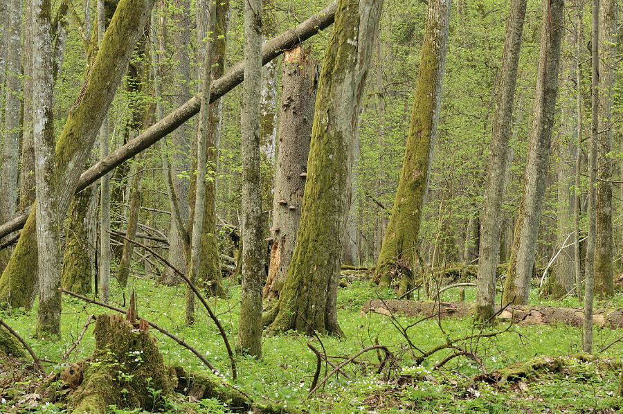 Primeval forest in Spring / Bialowieza NP (Poland)