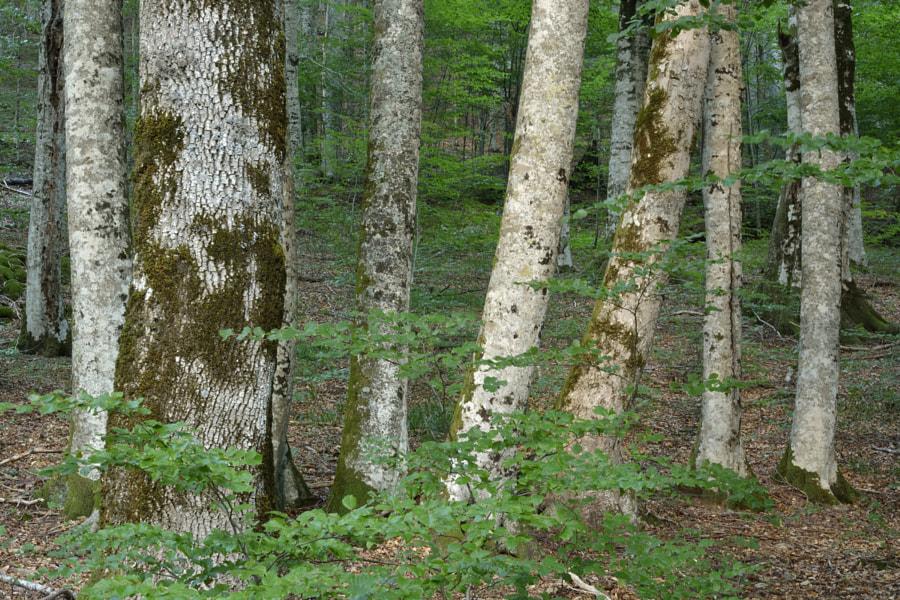Maple trees / Gemenele forest (Romania)