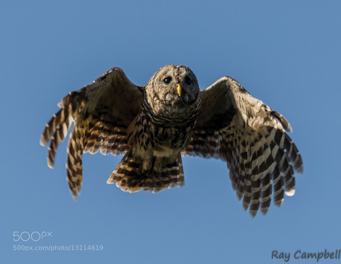 Photograph Barred Owl in Flight by Ray Campbell on 500px