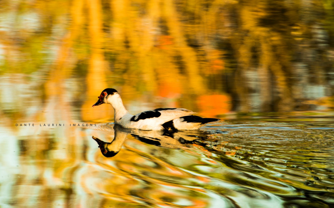 Photograph Duck by Dante Laurini on 500px